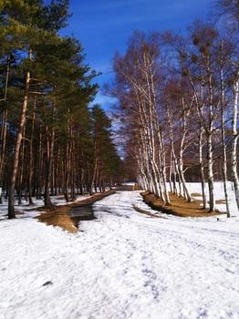 雪の白樺並木