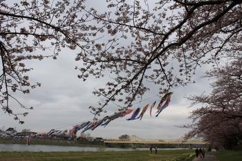 鯉のぼりと桜