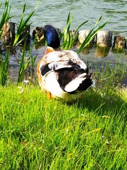 T松の池の鴨
