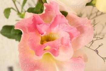 ピンクの八重咲トルコキキョウ