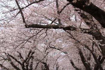 北上展勝地桜まつり