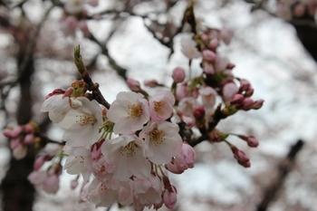 北上展勝地桜まつり2016