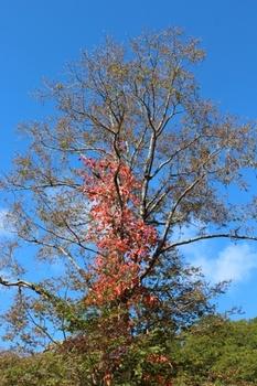 蔦漆と大木