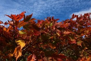 紅葉とうろこ雲