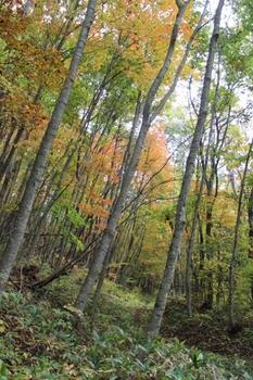 黒森山のブナ林紅葉